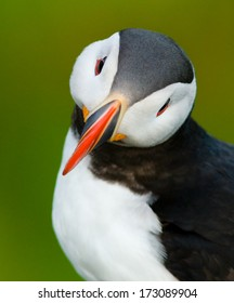 Puffin portrait with green background, captured at Runde, an island on the west coast of Norway.