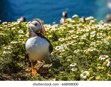 A Puffin strolls through the daisies on Skomer Island (breeding ground for Atlantic Puffins) in early summer