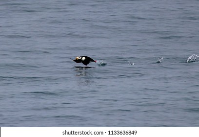 Puffin taking off from the water in Resurrection Bay (Seward) Alaska