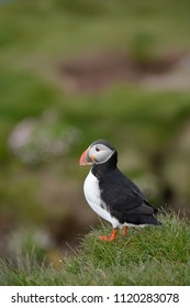 Puffin from westfjord in Iceland