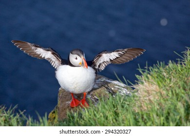 A puffin with its wings spread out. Photographed at latrabjarg in the Westfjords in northern Iceland.