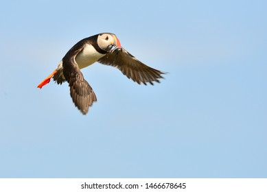Puffins are any of three small species of alcids in the bird genus Fratercula with a brightly coloured beak during the breeding season.These are pelagic seabirds that feed primarily by diving in water