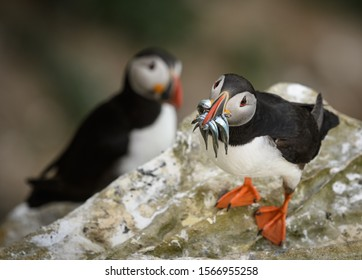 Puffins from Dunnet Head in Scotland