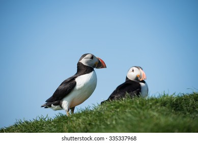 Puffins at the Faroe islands