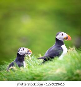 Puffins of the Faroe Islands, Mykines, Denmark, Europe
