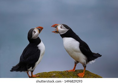 Puffins gather by the thousands to nest near Elliston, Newfoundland