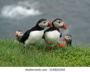 Puffins having a conversation on Mykines island - Faroe islands
