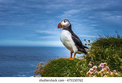 Puffins on the Latrabjarg cliffs, a promontory and the westernmost point in Iceland. Home to millions of puffins, gannets, guillemots and razorbills. West Fjords, Iceland