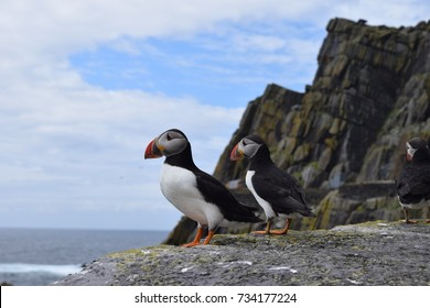 Puffins on Skellig Michael, Ireland