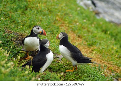 puffins at the Skellig islands