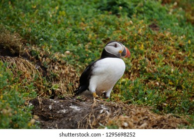 puffins at the Skellig islands. The island of Skellig Michael, also known as the Great Skellig, is home to one of Ireland's best-known, yet hard-to-reach medieval monasteries.