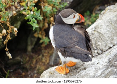puffins at the Skellig islandsThe island of Skellig Michael, also known as the Great Skellig, is home to one of Ireland's best-known, yet hard-to-reach medieval monasteries.