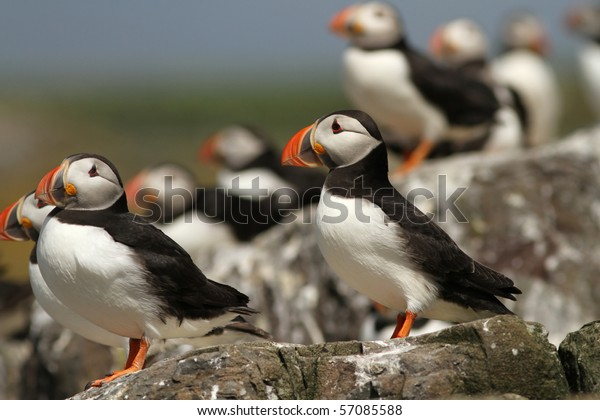 Puffins standing on the rocks