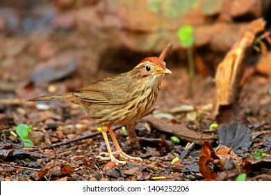 Puff-throated Babbler in nature, Birds of Thailand