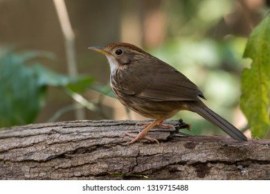 Puff-throated Babbler: a passerine bird found in Asia and it likes to quietly forage forest grounds through grass, plants, and turning fallen leaves for worms and insects.