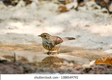 Puff-throated babbler (Pellorneum ruficeps) good-looking side view with water decorative water reflection and clear blackground.