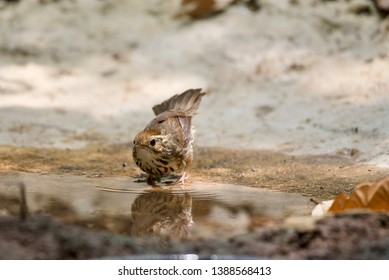 puff-throated babbler or Spotted babbler or Pellorneum ruficeps
