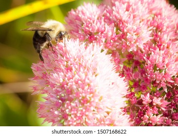 Puffy flower being harvested for honey by a bee