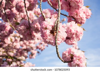 Puffy flowers shutterstock puffy pink blossoming flowers on a tree with a beautiful blue sky backdrop mightylinksfo