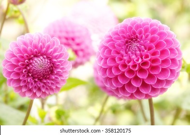 Puffy pink dahlia flowers