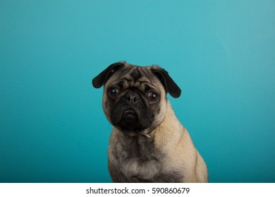 Pug against teal background