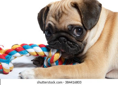 Pug biting toy