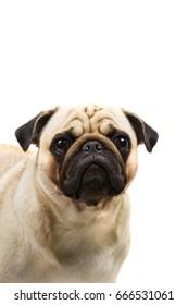 Pug breed dog isolated on white background