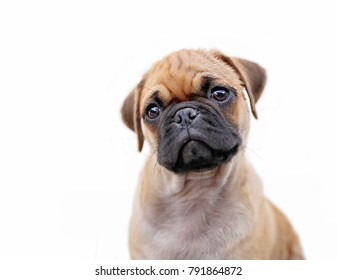 pug chihuahua mix puppy dog isolated on a white background