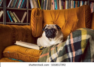 Pug comfortably lies on the chair in the library. Smart reading dog.
