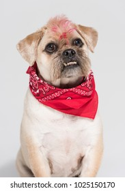 A Pug cross jack russell terrier dog, isolated on a white seamless wall in a photo studio.