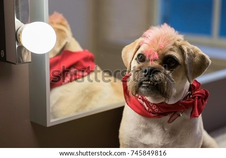 Pug Cross Jack Russell Terrier Dog Stock Photo Edit Now 745849816