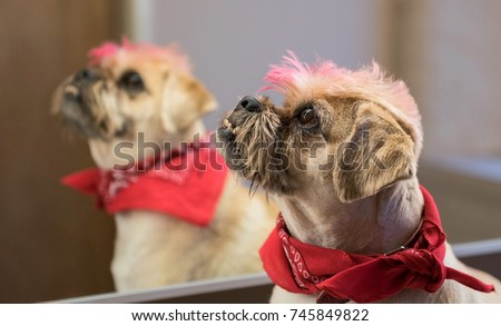 Pug Cross Jack Russell Terrier Dog Stock Photo Edit Now 745849822