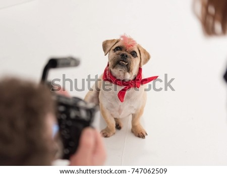 Pug Cross Jack Russell Terrier Dog Stock Photo Edit Now 747062509