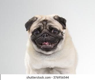 Pug. A cute pug dog in a head portrait. Image taken in a studio.