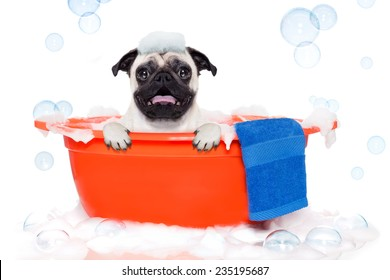 pug dog in a bathtub not so amused about that , with yellow plastic duck and towel, covered in foam , isolated on white background