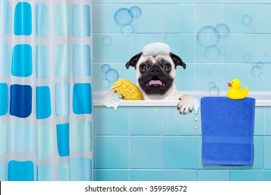 pug dog in a bathtub not so amused about that , with yellow plastic duck and towel, behind shower curtain  ,wearing a bathing cap
