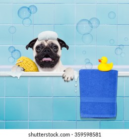 pug dog in a bathtub not so amused about that , with yellow plastic duck and towel