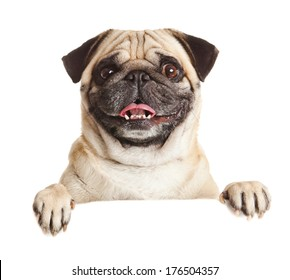Pug Dog with blank billboard. Dog above banner or sign. Pug dog portrait over white background