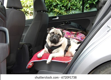 pug dog in a car  on the back seat