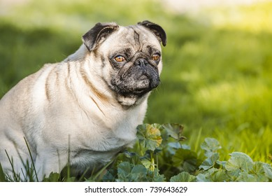 Pug Dog Carlin dog outside in a park. Color and horizontal composition in summer.
