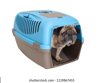 Pug dog in carrying on a white background isolated