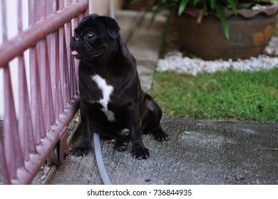 pug dog colour black with soft focus background