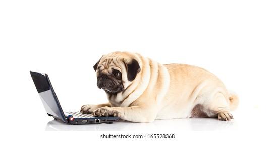pug dog computer isolated on white background