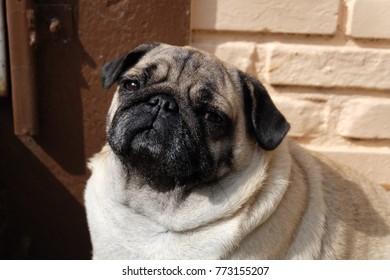 Pug dog is doubt and sad.