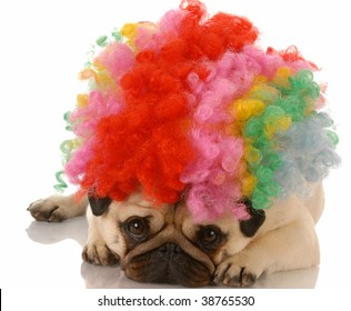 pug dog dressed up as a sad clown