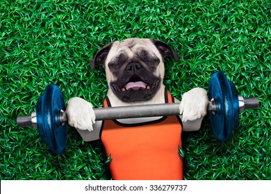 pug dog  exercising sport with Dumbbell bar in the park  lying on grass, trying very hard