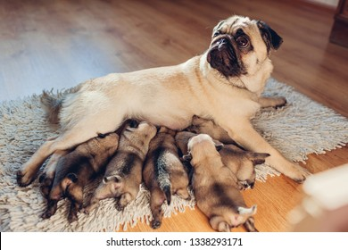 Pug dog feeding six puppies at home. Puppies sucking milk. Dog lying on carpet with kids.