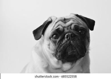 Pug Dog feeling sad . black and white