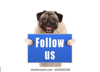 pug dog with glasses holding up blue sign with text follow us, isolated on white background