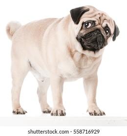 pug dog images stock photos vectors shutterstock